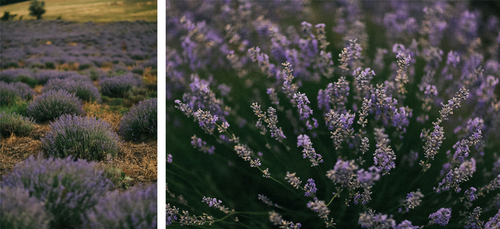Lavender field in the south of France, Provence wedding photography.