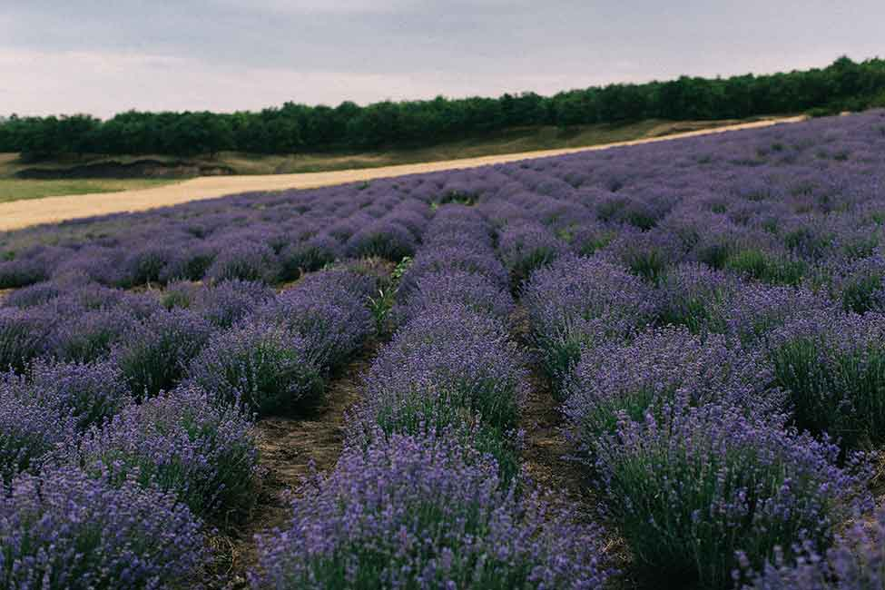 Lavender field in the region of Sault, France.
