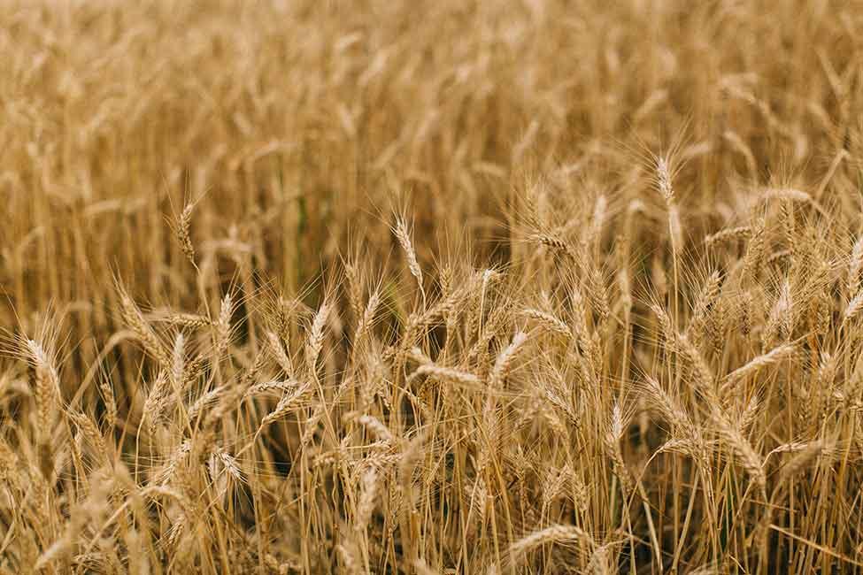 Golden seas of wheat.