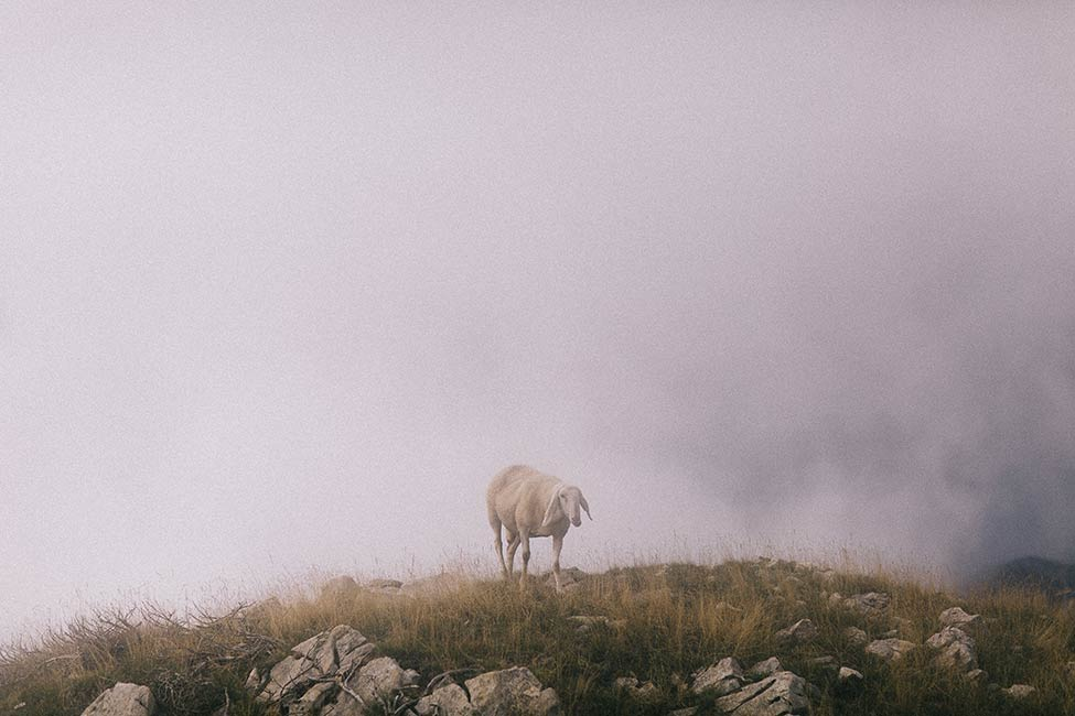 Sheep atop monte baldo.
